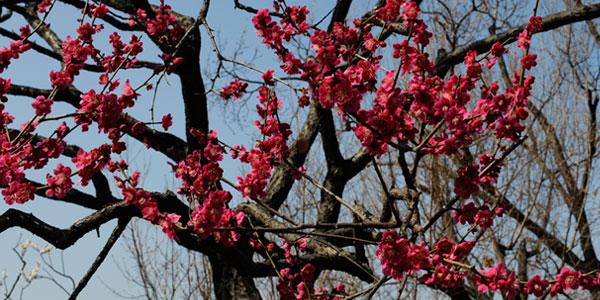梅树除了有梅花可以观赏外,果实的梅子,在吃的作用上,扮演著酸的味道.